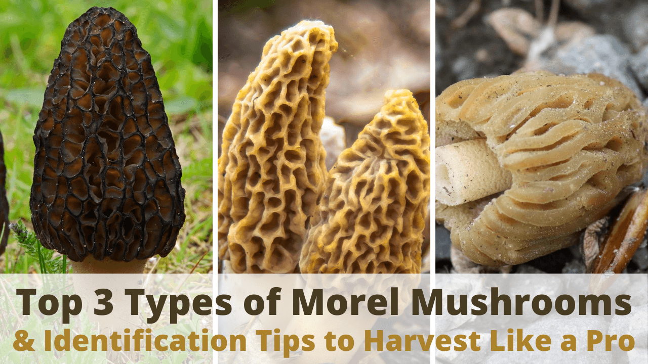 types of morel mushrooms