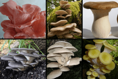6 Types Of Oyster Mushrooms