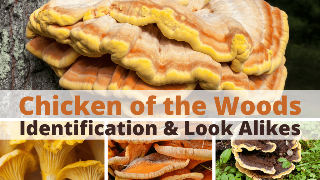 chicken of the woods identification & look alikes