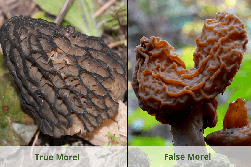 false morel mushroom compared to true morel mushroom