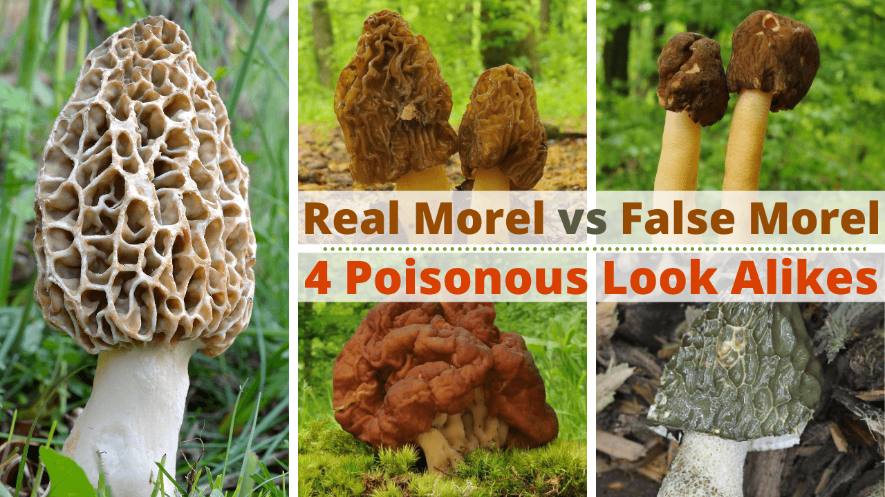 real morel vs false morel and poisonous look alikes
