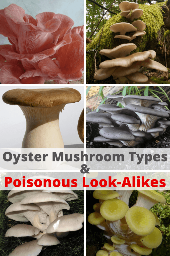 Types of Oyster Mushrooms