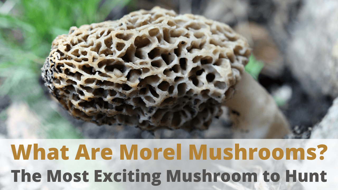 what are morel mushrooms