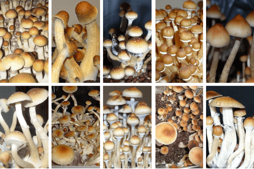 10 Best Psilocybe Cubensis Strains – For Beginners & Advanced