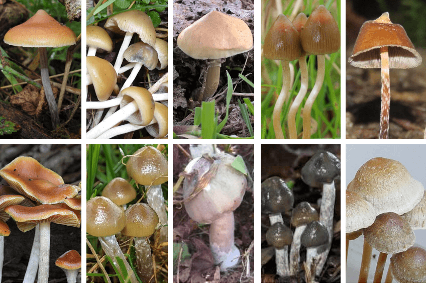 Top 10 Types of Magic Mushrooms 2