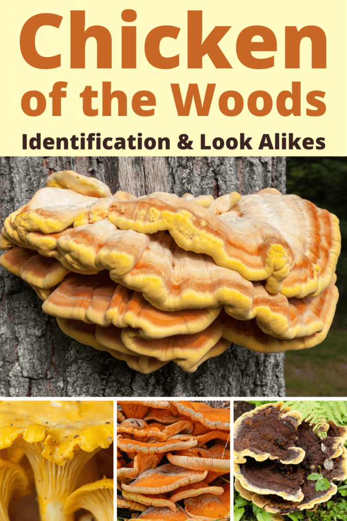 Chicken of the Woods Identification & Poisonous Look Alike