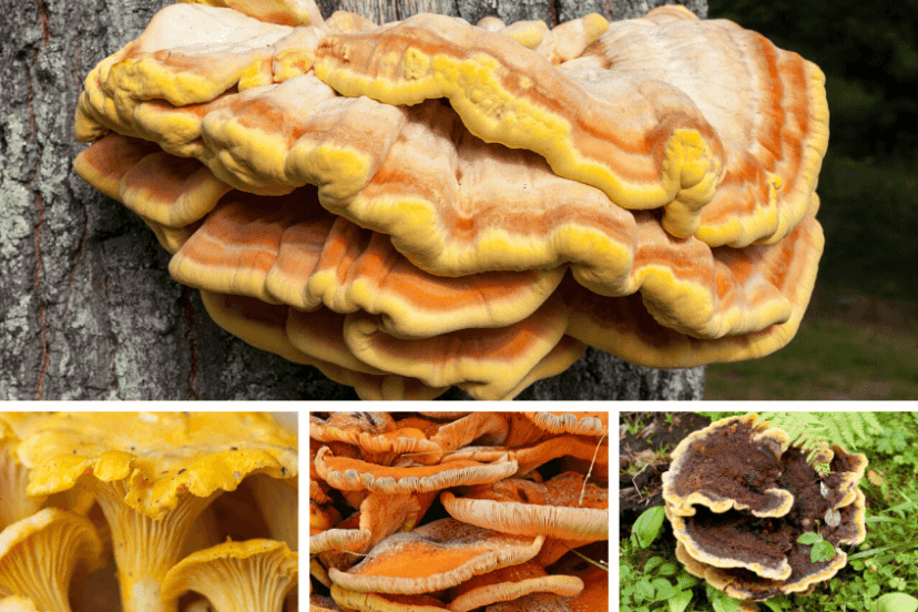 Chicken Of The Woods Identification Look Alike
