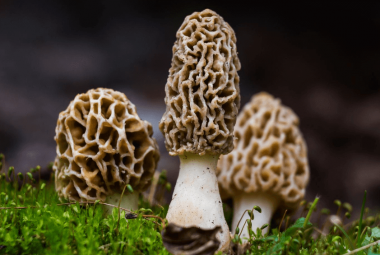How To Grow Morel Mushrooms At Home Outdoors