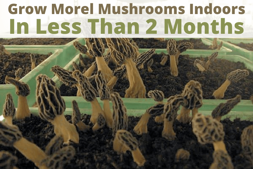 how to grow morel mushrooms indoors